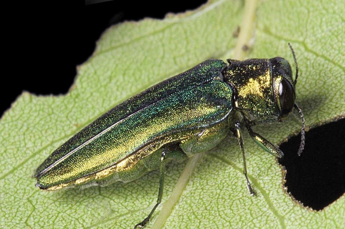Emerald Ash Borer Information Kc Parks And Rec