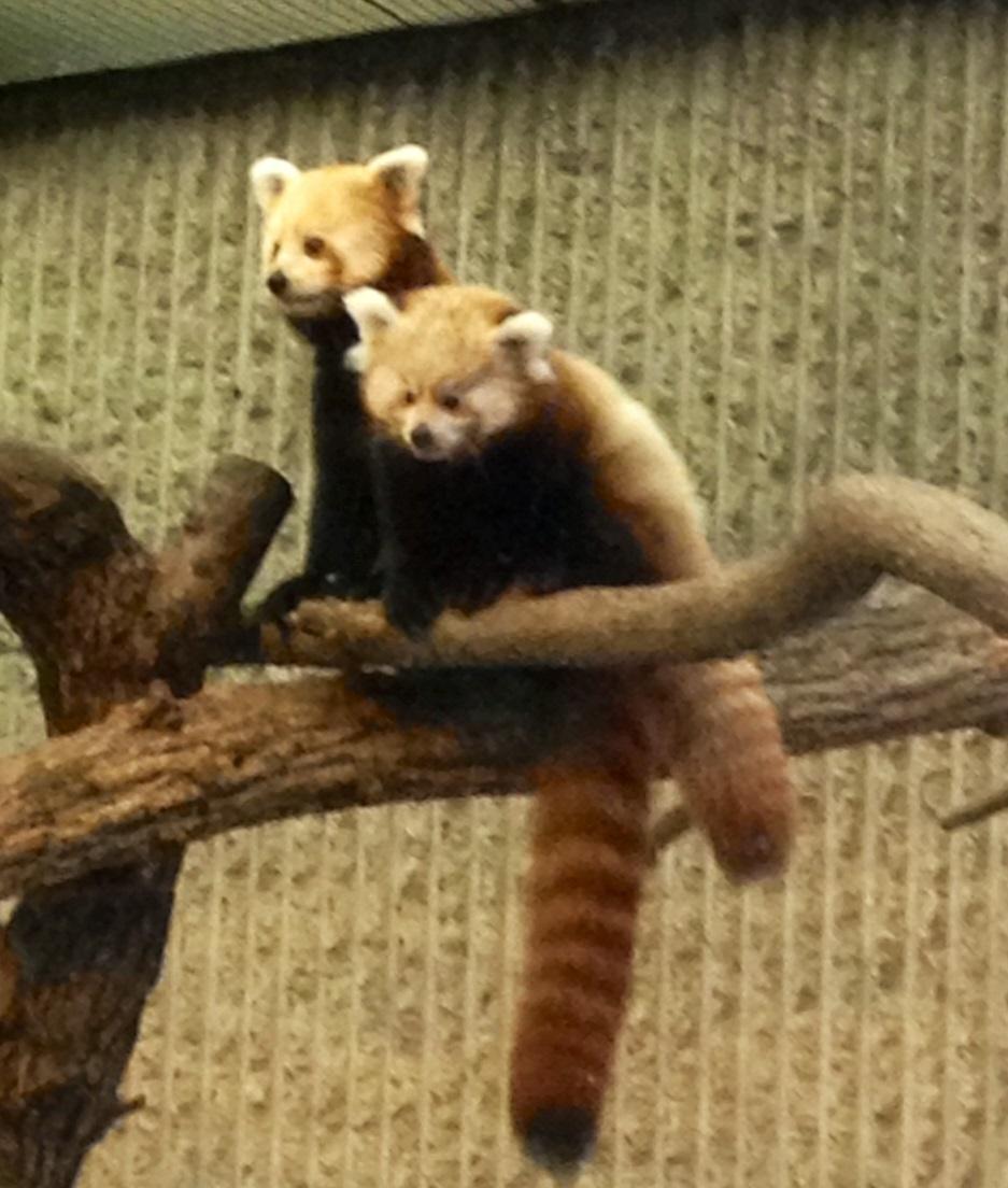 KCZoo Red Panda Cubs Make Public Debut