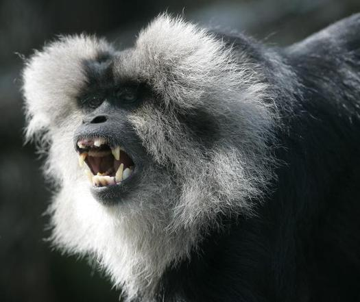 Kansas City Zoo Welcomes Lion-Tailed Macaques