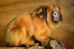Tamarin Zoo