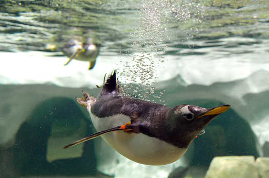 Early Penguin Exhibits in KC Didn't Succeed
