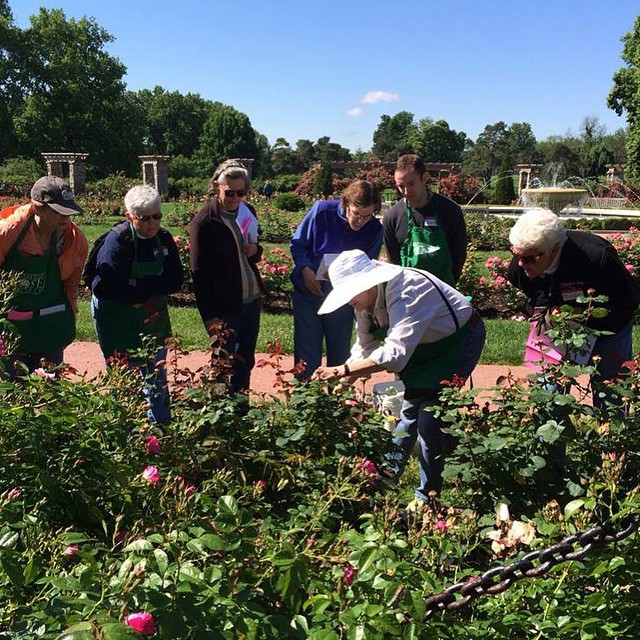 Preparing for Rose Day on May 31 in #KCParks Loose Park.