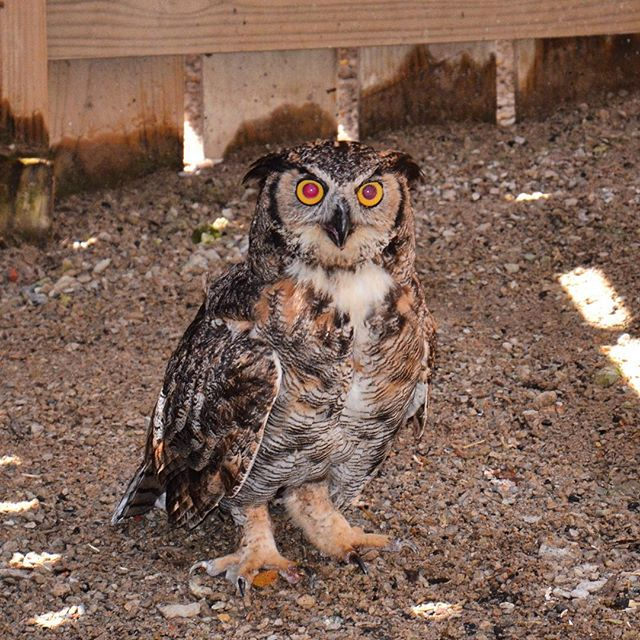 This little cutie is going home tonight!  This great horned owl was found broken and starving two months ago. She has been recovering at #KCParks Lakeside Nature Center in Swope Park and is now healthy enough to be released back where she was found, Longview Lake.