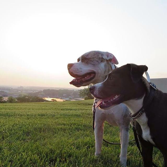 The view at Penn Valley Park #KCPicsAndRec15 #KCParks #americanbulldog #dogsofkc @kcmoparks