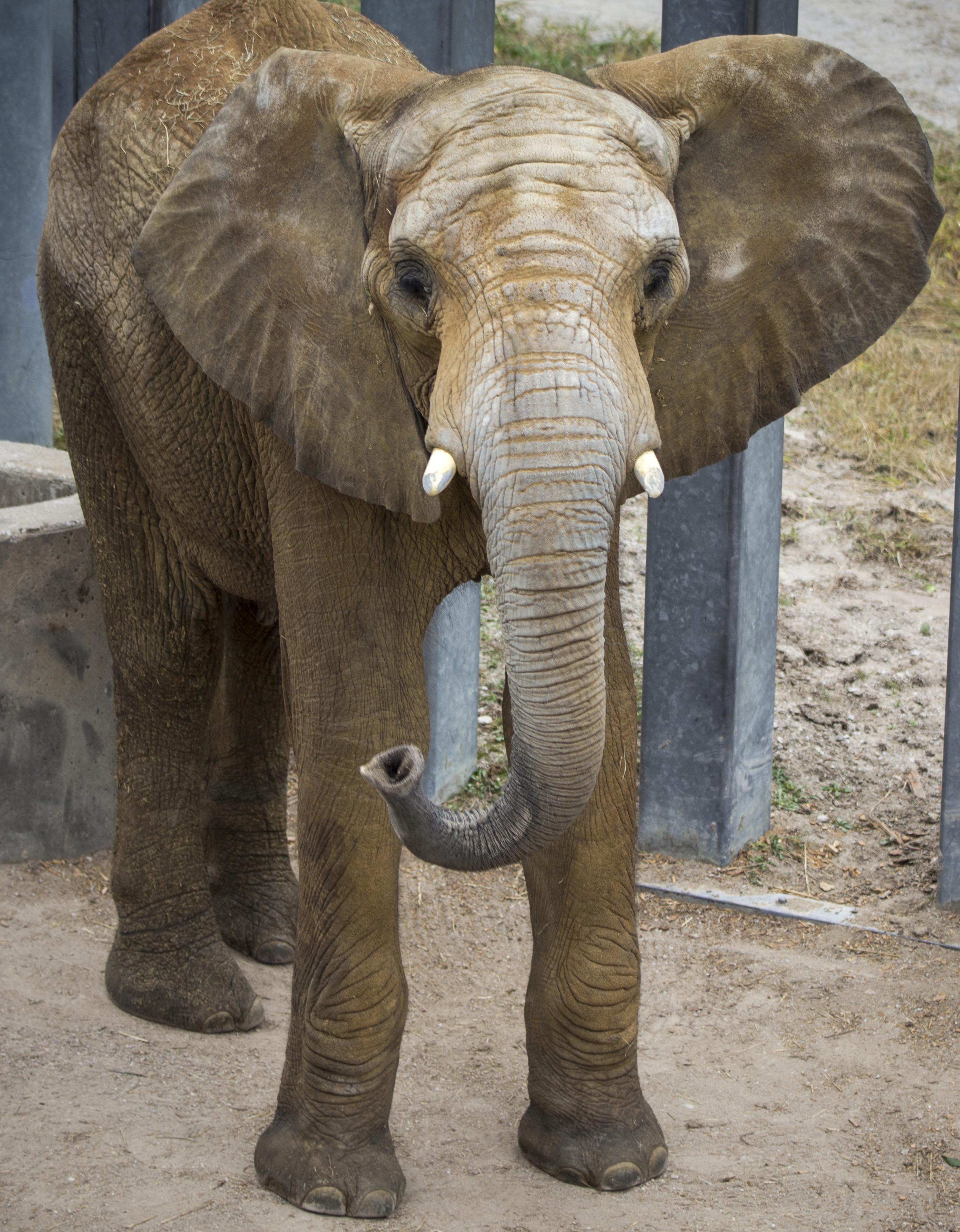 Kansas City Zoo Aquires Male Bull Elephant