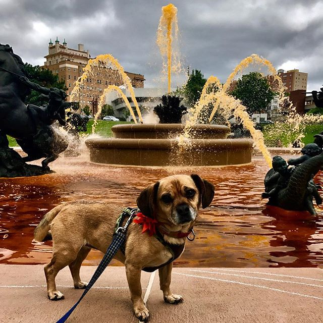 #PuggleInThePark at the JCNichols Fountain which is dyed orange today for @nopw_ #CityOfFountains #NOPW17 #stroke #youngstrokesurvivor ‬#NOPW #KCParks