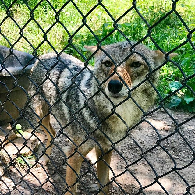 Cody the coyote at #KCParks Lakeside Nature Center
