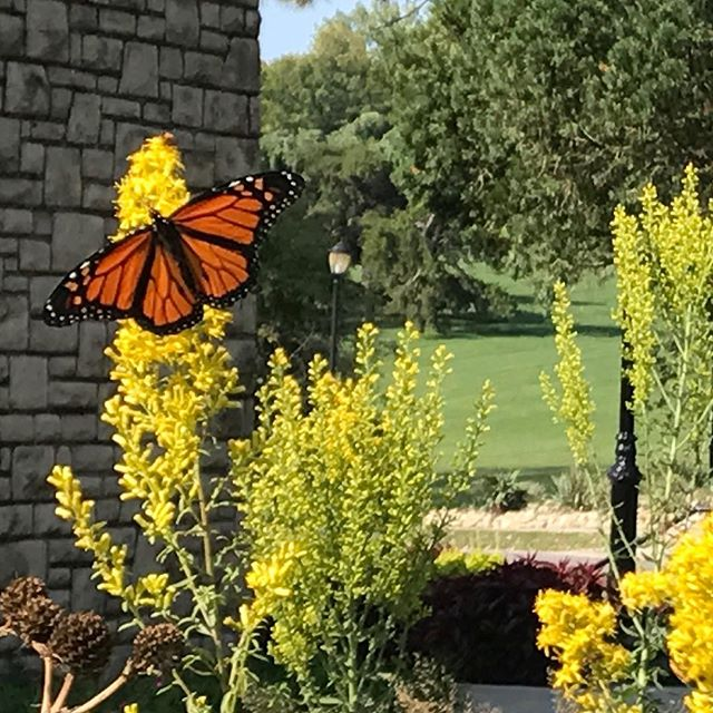 CELEBRATE A NATURAL PHENOMENON: Monarch Migration In Kansas City
