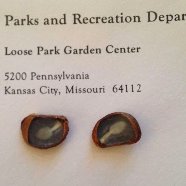 The staff at #KCParks Loose Park Garden Center has found #spoons in their #persimmon seeds! 🥄🥄🥄