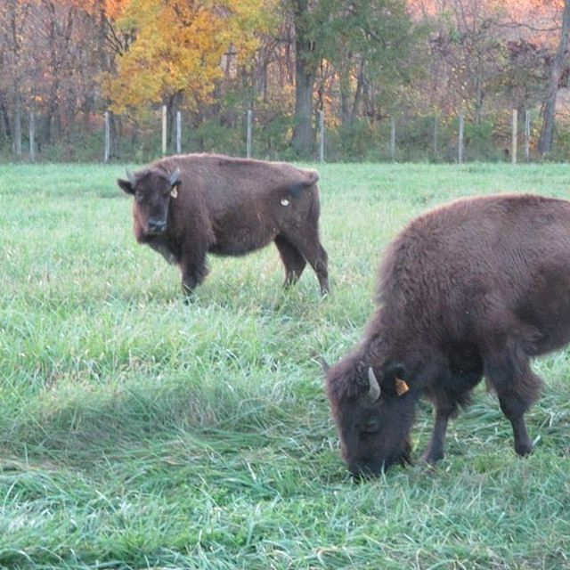 Today is #NationalBisonDay! Celebrate by visiting the five #KCParks bison at Shoal Creek Living History Museum in Hodge Park. #Bison #SCLHM