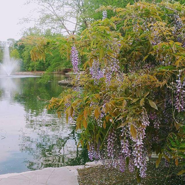 Loose Park looks lovely! #Wisteria #MothersDayWeekend #KCParks #WhereKCPlays