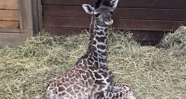 KC Zoo Welcomes Giraffe Calf