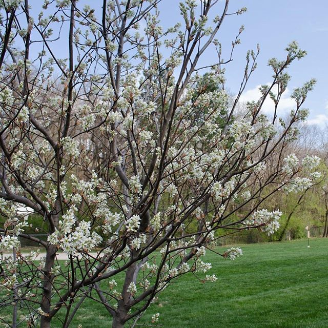 In memory of Judy Widener, Founder of Dance in the Park. A native serviceberry memorial tree was recently planted within view of the current location of Dance in the Park. Enjoy the blooms it has right now and its elegance in all seasons, and give thanks for neighbors who add beauty and life to the park. #danceinthepark #KCParks via @roanokeparkkc