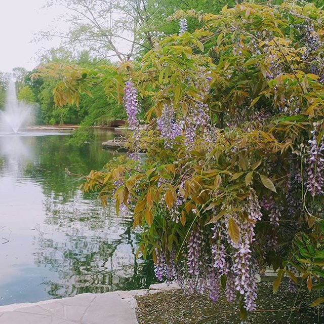 Loose Park looks lovely! #Wisteria #MothersDayWeekend #KCParks #WhereKCPlays