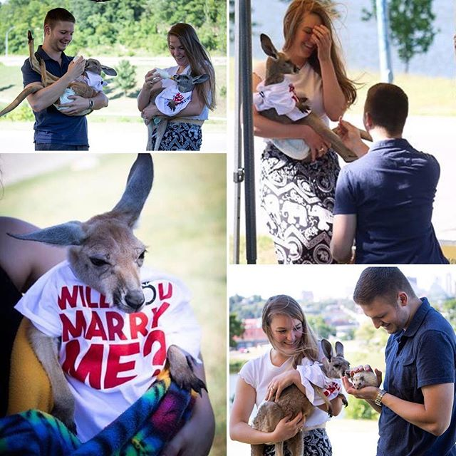#CutenessOverload! Alex Beemer came up a darling way to propose to his girlfriend (now fiancé) last month in Penn Valley Park. Congratulations to the happy couple! We are thrilled that #KCParks ~ along with wallabies and a hedgehog~ were part of your special day. #Wallaby #Hedgehog #MarryMe #Proposal