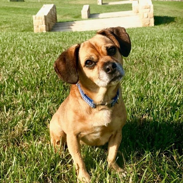 "Although Park and Recreation Month has ended, we have a BONUS #PlayerOfTheDay #DiscoverJuly #KCParks #WhereKCPlays..Harley aka #PuggleInThePark, Brand Ambassador and Dog Park Manager, 4 years with KC Parks ""I am proud of my association with KC Parks and particularly love attending our events because of all the good smells, ample belly rubs and potential food droppage. I also enjoy being in charge at West Terrace Dog Park—I'm not bossy, I'm the boss!"""