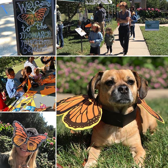A beautiful day for the Monarch Migration Celebration in Loose Park! #KCParks #WhereKCPlays #PuggleInThePark