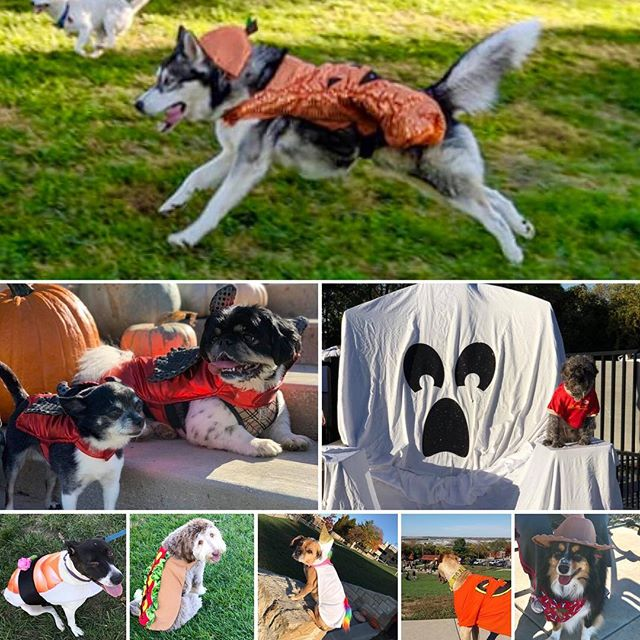 The West Terrace Dog Park re-opened following closure for Fall maintenance with a Halloween party for members! It was a beautiful day and fun for all! Visit our website, kcparks.org, for membership details. #WTDP #TrickOrTreat #KCParks #WhereKCBarks #WhereKCPlays #PuggleInThePark #GiantChair  😈 🌭  🤠