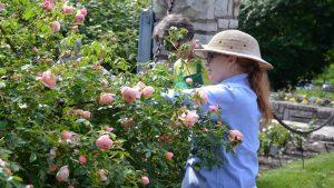 Girl pruning pink rose bush